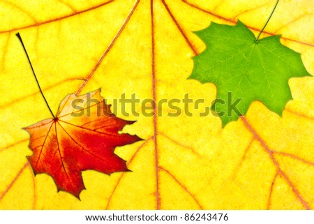 Colorful autumn leaves. Red and green leaves on big yellow one - stock photo