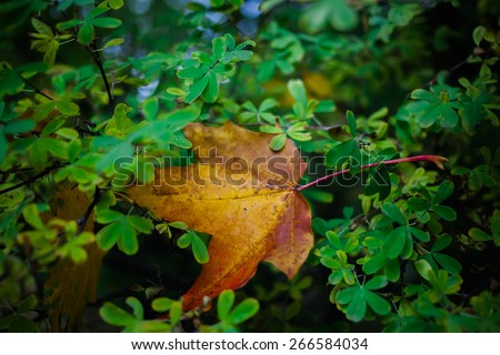 colorful autumn maple leaf is caught in branches of bush - stock photo