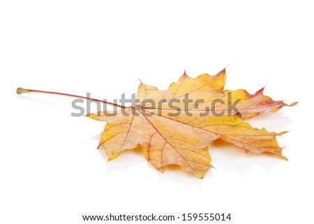 Colorful autumn maple leaf. Isolated on white background - stock photo