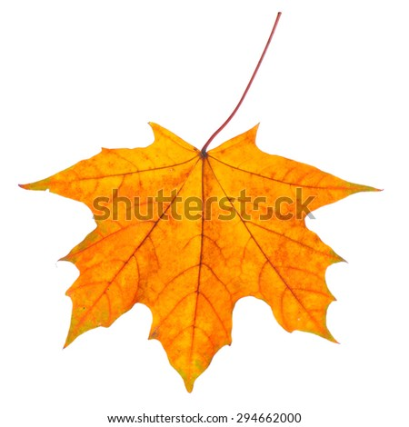 Colorful autumn maple leaf isolated on white background. - stock photo