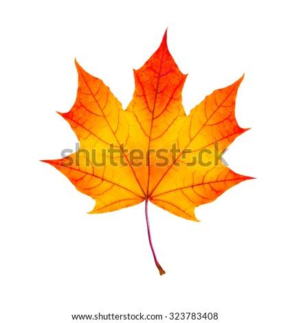 colorful autumn maple leaf isolated on white background - stock photo