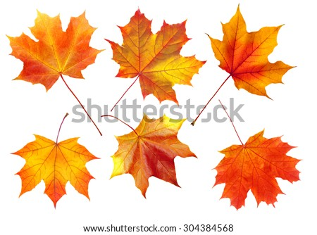 colorful autumn maple leaves isolated on white background - stock photo