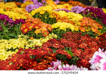 Colorful Autumn Mums or Chrysanthemums for flower background - stock photo