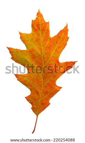 Colorful autumn oak leaf                     - stock photo