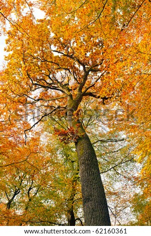 Colorful autumn oak tree - stock photo