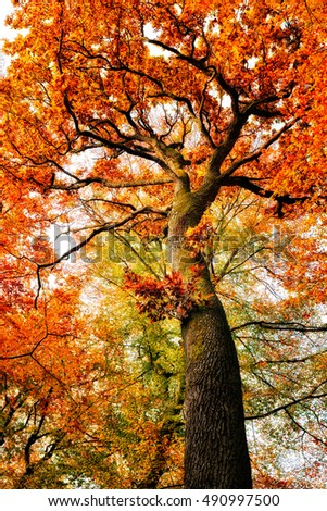 Colorful autumn oak tree in the park