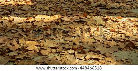 Colorful autumn. Platanus leaves - stock photo