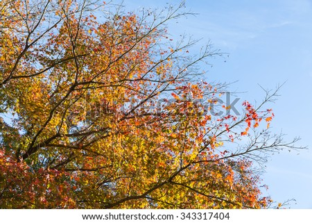 Colorful autumn tree leaves with sky background in Arashiyama, Kyoto, Japan