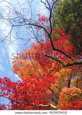 colorful autumn tree with vivid color leaves background, Autumn and Winter, Kyoto, Japan, October to December  - stock photo