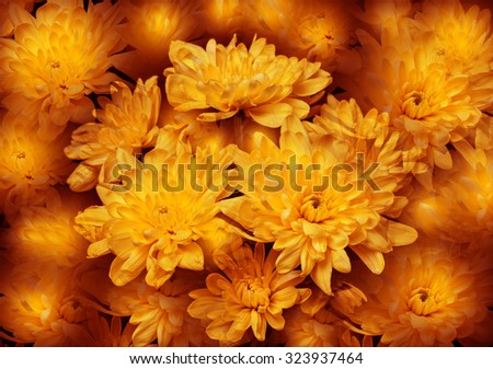 Colorful autumn wallpaper, background. Floral chrysanthemums fantasy, double exposure artistic effect, soft blur style.  - stock photo