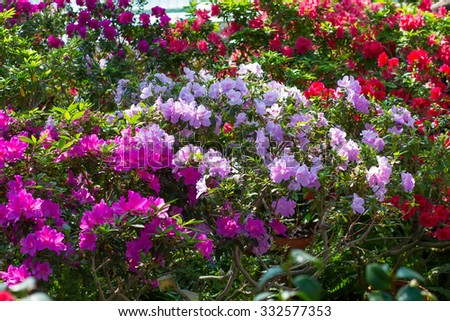 Colorful azaleas in the sunlight.