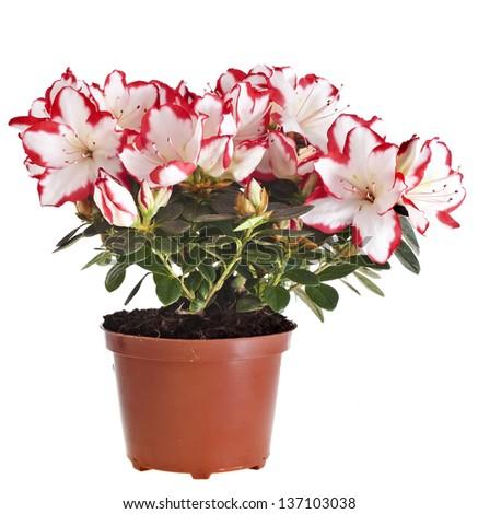 colorful azalia flower potted isolated on white background - stock photo
