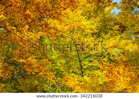 Colorful background of autumn leaves on the beech tree. - stock photo