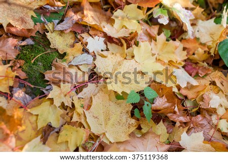Colorful background of autumn maple leaves on the ground