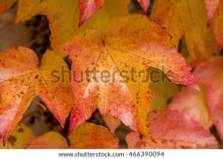 Colorful background of fallen autumn leaves, detail of a red maple leaf, autumn concept