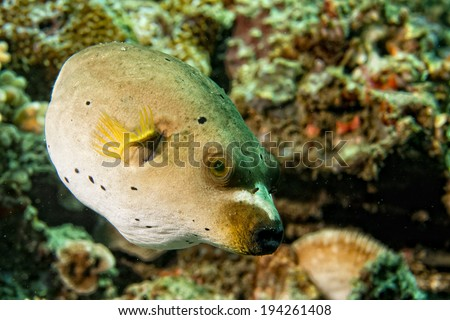 colorful ball puffer fish portrait while diving in indonesia - stock photo