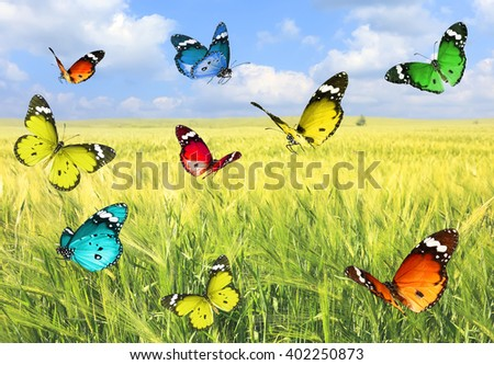 Colorful beautiful butterflies's flight on a wheat field landscape background.Nature summertime abstract
