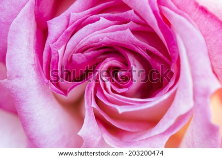 Colorful, beautiful, delicate rose details