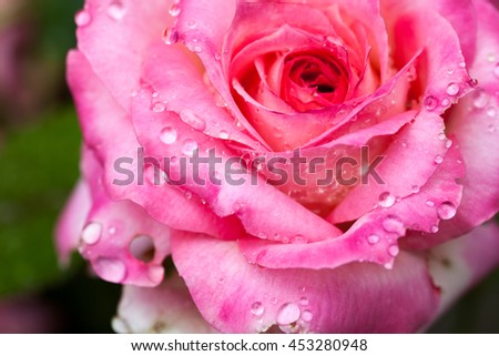 Colorful, beautiful, delicate rose petals and water drops