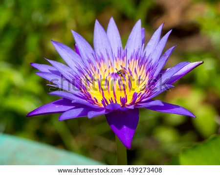 colorful beautiful purple lotus yellow pollen green leaf with a bee insect in water pond natural - stock photo
