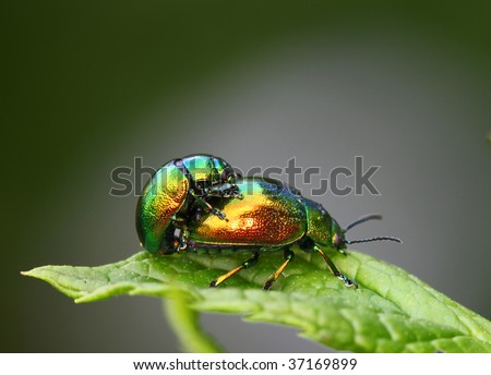 colorful beetles mating