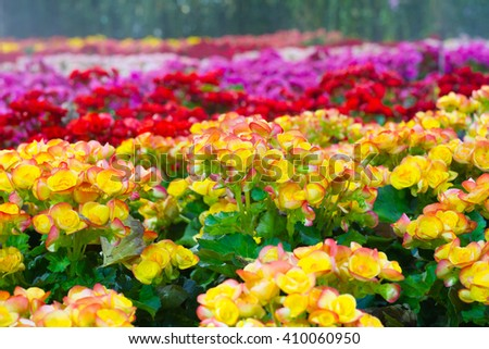 colorful  Begonia flowers in the garden - stock photo