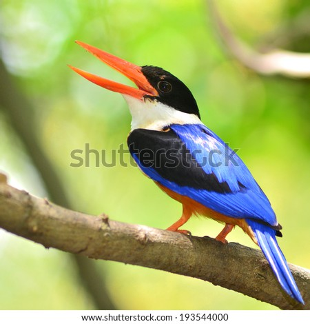 Colorful Bird (Black-capped Kingfisher) perching on a branch, back profile - stock photo