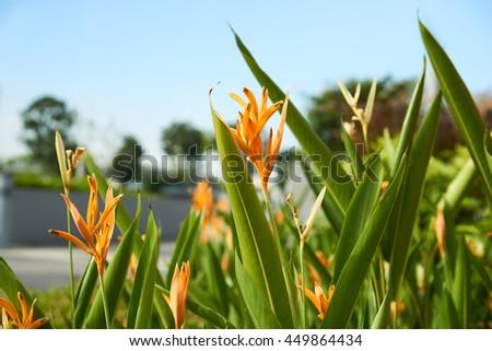 colorful bird of paradise flower at botanic garden - stock photo