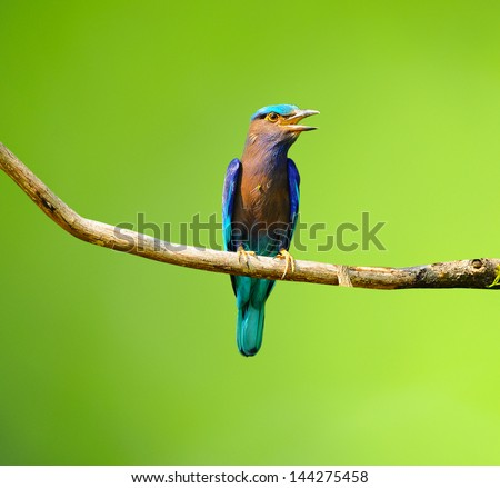 Colorful bird on a branch (Indian Roller) - stock photo