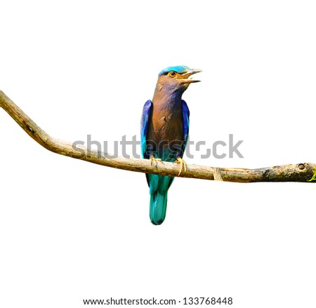 Colorful bird on a branch (Indian Roller), isolated on white bac - stock photo