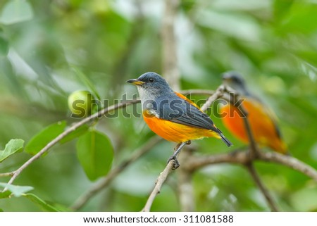 colorful bird Orange-bellied Flowerpecker perching on a branch