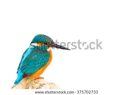 colorful birds isolated on white background high resolution Common Kingfisher / Alcedo atthis