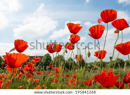 Colorful blooming and budding Poppy or Papaver rhoeas plants on a sunny day in springtime. - stock photo