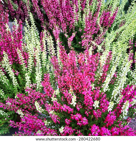 Colorful blooming heather. Scandinavian nature in late summer. - stock photo