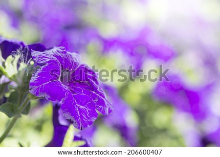 colorful blooming petunias in the flowerbed
