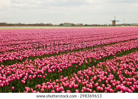 Colorful blooming pink tulips in the field with wind wheel, Netherlands