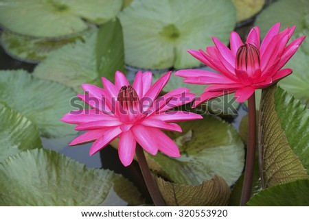 Colorful blooming pink water lily in the pond.  - stock photo
