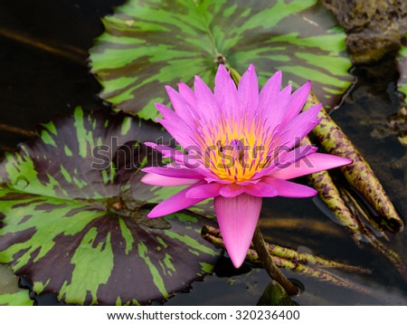 Colorful blooming pink water lily (lotus) with bee is trying to keep nectar pollen from it. The view captured at a lotus pond in Singapore. Lotus flower in Asia is a important culture symbol - stock photo
