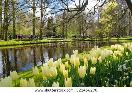 colorful blooming tulips in the famous keukenhof gardens in Lisse, netherlands