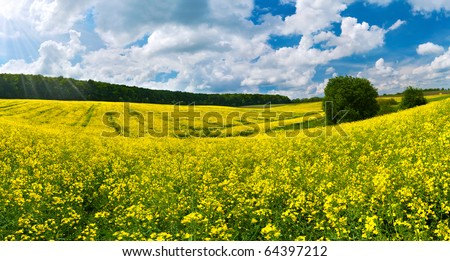Colorful blossom field of colza