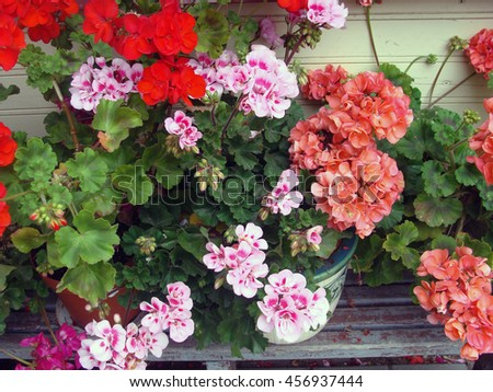 Colorful blossoming flowers in pots outdoor on wooden bench near house wall.                                - stock photo