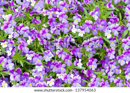 Colorful blue and violet pansy flowers. Nature background.