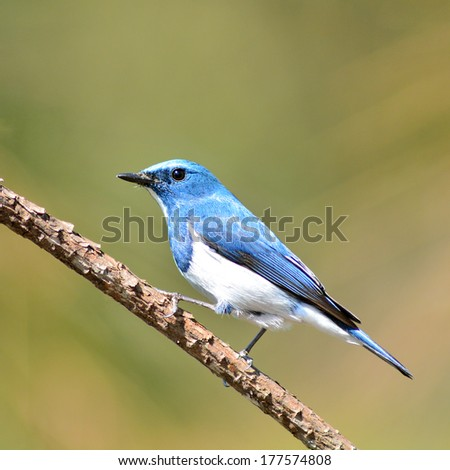 Colorful blue and white bird, male Ultramarine Flycatcher (Ficedula superciliaris) , perching on a branch, side profile