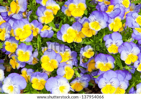 Colorful blue and yellow pansy flowers. Nature background.