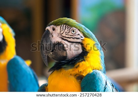 Colorful blue and yellow parrot macaw Ara ararauna - stock photo