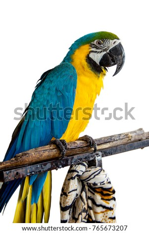 Colorful blue and yellow parrot macaw isolated on white background