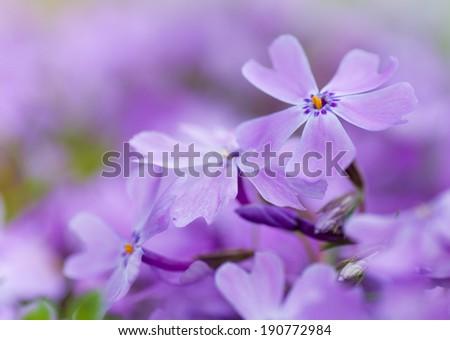 colorful blue flowers. purple flowers. close-up. soft focus, blur flower. flower background - stock photo