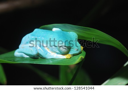 Colorful blue frog sleeping in terrarium. - stock photo