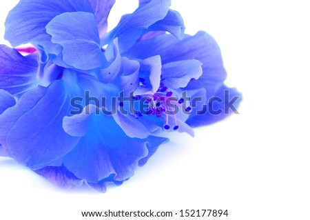 Colorful blue Hibiscus flower isolated on a white background