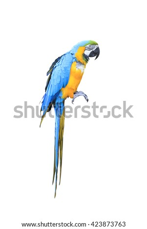 Colorful blue parrot macaw isolated on white background with clipping path